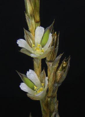 בופוניה אשונה Bufonia virgata Boiss.