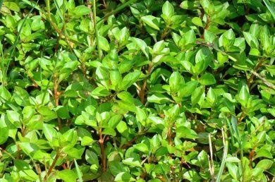 צמחים עשבונים רב-שנתיים קרחים של מקווי מים; הגבעולים שרועים או מתרוממים, מאדימים