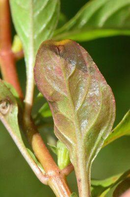 מדד הביצות Ludwigia palustris (L.) Elliott