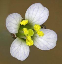 הפרחים ורודים-חיוורים או סגולים-חיוורים; עלי הכותרת בעלי ציפורן, קטועים או מפורצים מעט בראשם; האבקנים חופשיים, עמוד העלי קצר מהאבקנים, הצלקת קרקפתית-שטוחה או בעלת 2 אונות