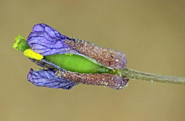 סוויניה עדינה Savignya parviflora (Delile) Webb