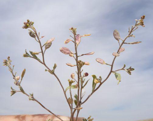 אליסון זעיר Alyssum linifolium Steph. ex Willd.