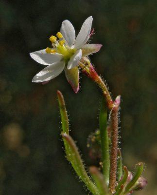 דורית השדה Spergula arvensis L.