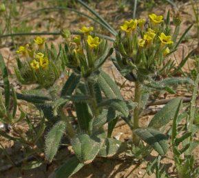 צמחי מדבר מכוסי זיפים הדוקים קצרים וזיפים זקופים, ארוכים ומגובששים בבסיסם; העלים התחתונים סרגליים-מוארכים, העליונים סרגליים-אזמלניים