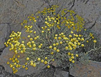 בני שיח מלבינים בעלי ענפים זקופים או מתרוממים הגדלים בין סלעים בחרמון