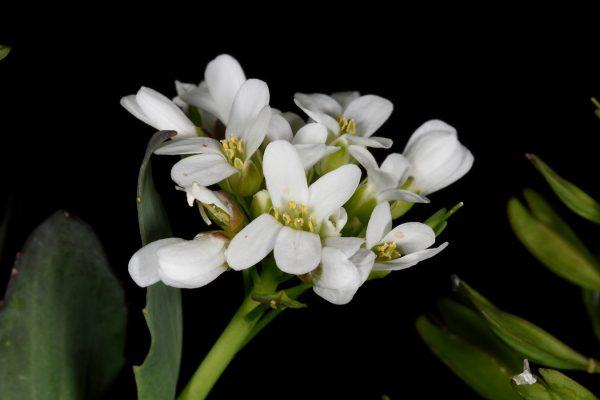חופניים הרריים Thlaspi microstylum Boiss.