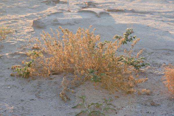 קוטב הערוצים Tribulus macropterus Boiss.
