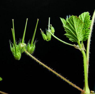 מקור-חסידה חלק Erodium alnifolium Guss.