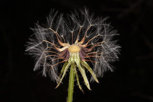 Urospermum picroides (L.) F.W.Schmidt