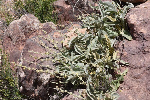 בוצין פטרה Verbascum petrae P.H.Davis & Hub.-Mor.