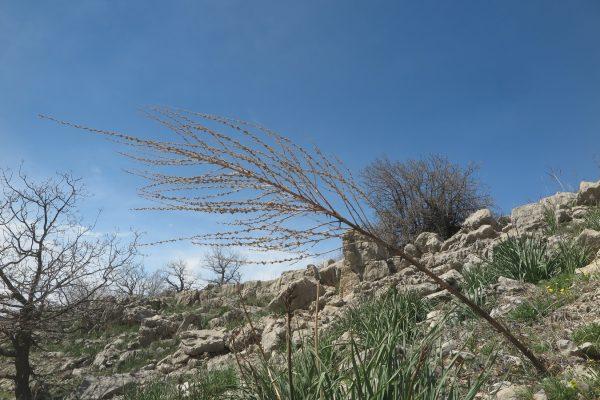 בוצין הבשן Verbascum qulebicum Post