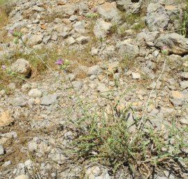 עשבים רב שנתיים בעלי גבעולים זקופים שבסיסם מעוצה; העלים אזמלניים צרים, בעלי אונות רדודות ומזוותות שלהן 4-2 קוצים היוצאים מנקודה אחת