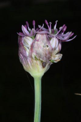 Allium dumetorum Feinbrun & Szel.