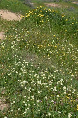 Allium erdelii Zucc.