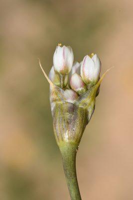 שום הפטמות Allium papillare Boiss.