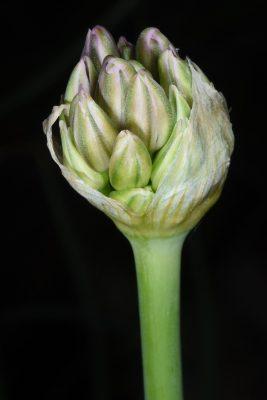 שום תל-אביבי Allium tel-avivense Eig