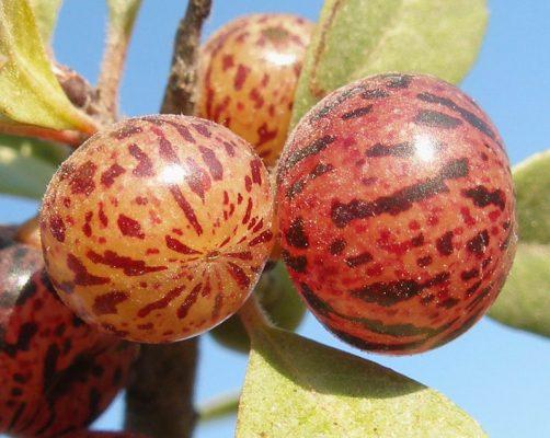 Rhamnus lycioides L.