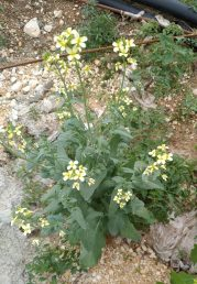 צמח חד-שנתי בעל עלים שעוותיים לבובים ופרחים צהובים חוורים
