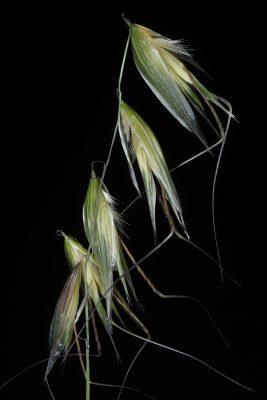 שיבולת-שועל צמרית Avena eriantha Durieu