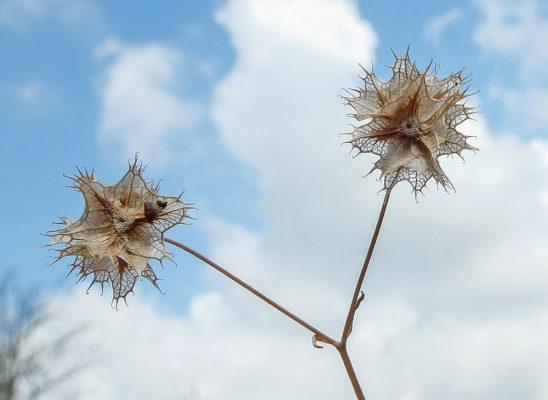 ולריינית מצויצת Valerianella obtusiloba Boiss.
