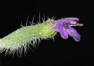 הגביע צינורי ארוך, בפרח יש רק שני אבקנים מפותחים