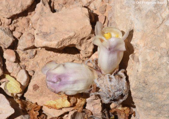 יחנוק צמיר Cistanche fissa (C.A.Mey.) Beck