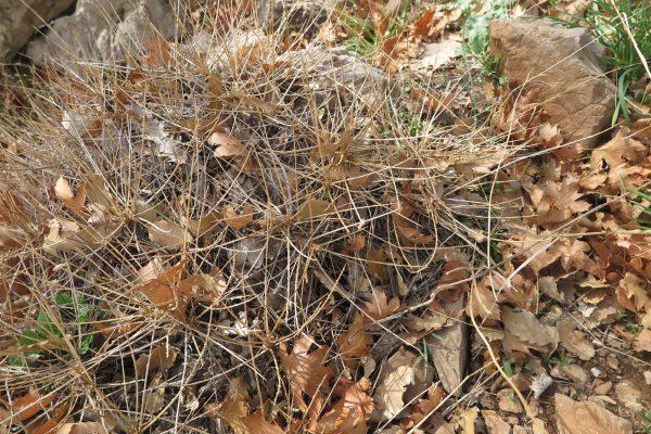 קדד קוצני Astragalus deinacanthus Boiss.
