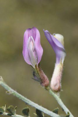 קדד קדוש Astragalus sanctus Boiss.