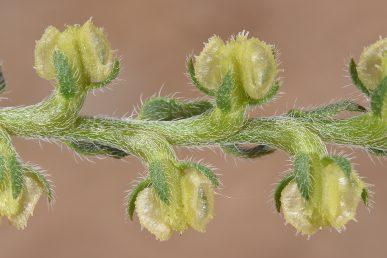 הפרי בעל ארבע פרודות לא שוות, שתיים מכונפות ושתיים לא מכונפות