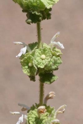 Ballota undulata (Sieber ex Fresen.) Benth.