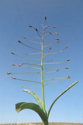 זמזומית מפושקת Bellevalia longipes Post