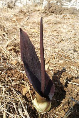אחילוף הגליל Biarum pyrami (Schott) Engler