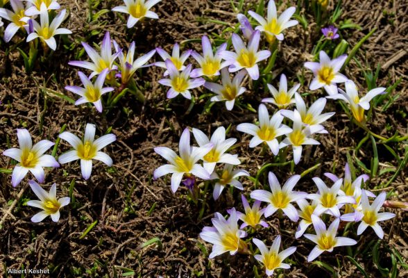 רומולאת השלג Romulea nivalis (Boiss. & Kotschy) Klatt