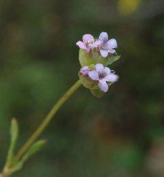 הכותרת ורודה או לילכית, בעלת 5 אונות שוות; אבקנים 3. הפרחים מועטים