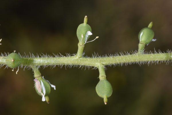 קמלינה סמורה Camelina hispida Boiss.