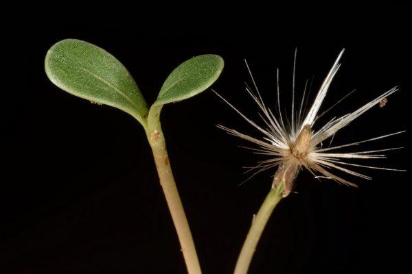 דרדר גדול-פרחים Centaurea crocodylium L.
