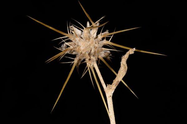 דרדר המדבר Centaurea pallescens Delile