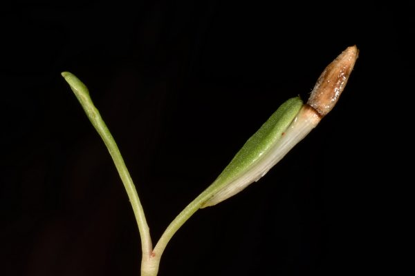 דרדר נמוך Centaurea pumilio L.