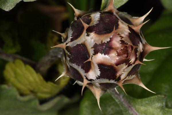 Centaurea pumilio L.