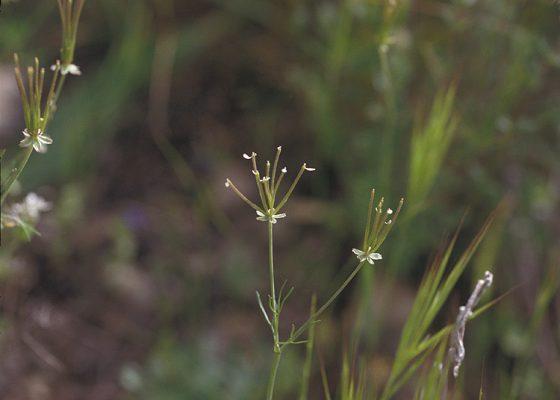 מסרק דרומי Scandix australis L.