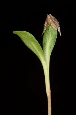 שלמון כוכבני Cephalaria stellipilis Boiss.