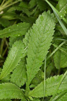 Cephalaria tenella Paine