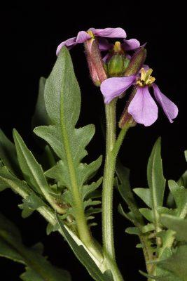 קרן-יעל סורית Chorispora purpurascens (Banks & Sol.) Eig