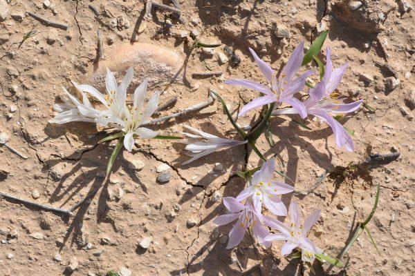 סתוונית הנגב Colchicum ritchii R.Br.
