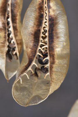 קרקש קיליקי Colutea cilicica Boiss. & Balansa