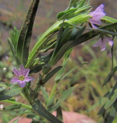 שנית הציפורנית Lythrum silenoides Boiss. & Noë
