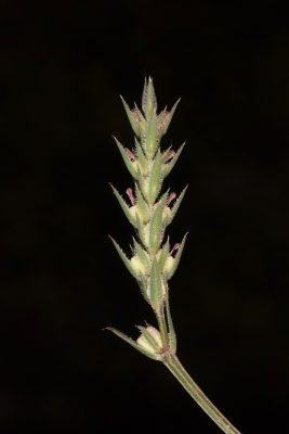 צלבית ריסנית Crucianella ciliata Lam.