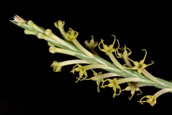 צלבית ארוכת-שיבולת Crucianella macrostachya Boiss.