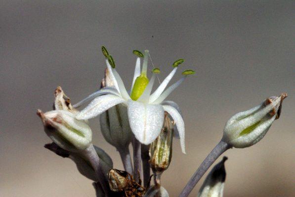חצב מצוי Drimia aphylla (Forssk.) J. C. Manning & Goldblatt