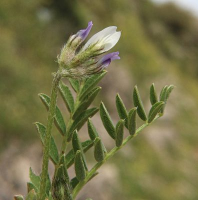 Astragalus triradiantus Bunge